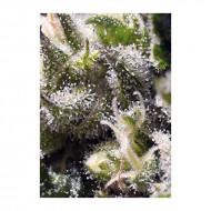 Auto Cream Caramel 100 u. Feminizadas - Sweet Seeds