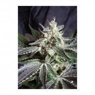 Black Jack Fast Version 5 u. Feminizadas - Sweet Seeds