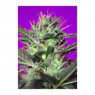 Botafumeiros 3 u. Feminizadas - Sweet Seeds