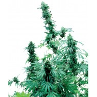 Early Skunk Feminizadas - Sensi Seeds