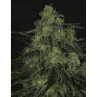 Black Valley Feminizadas - Ripper Seeds