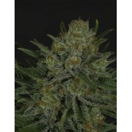 Double Glock Feminizadas - Ripper Seeds