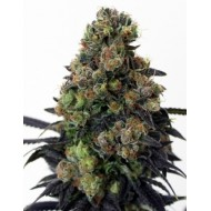 Acid Dough Feminizadas - Ripper Seeds