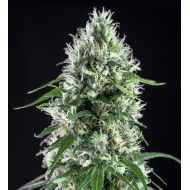 Super Silver Bilbo Feminizadas - Genehtik Seeds