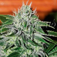 Critical Jack Herrer fem.Delicious Seeds