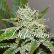 Original Juan Herrer fem.Delicious Seeds