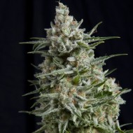 Anesthesia Feminizadas - Pyramid Seeds