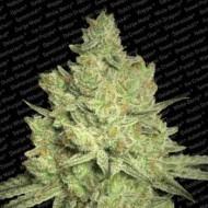Jacky White Feminizadas - Paradise Seeds