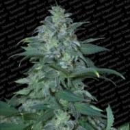 Magic Bud Feminizadas - Paradise Seeds