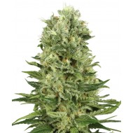 Auto Skunk Feminizadas - White Label Seeds