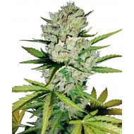 Auto Super Skunk Feminizadas - White Label Seeds
