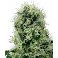 Pure Power Plant Feminizadas - White Label Seeds