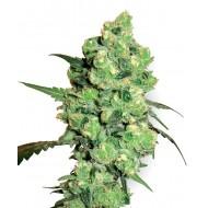 Super Skunk Feminizadas - White Label Seeds