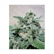 Supercheese Feminizadas - Positronics Seeds