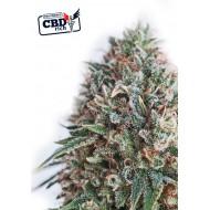 CBD Critical 47 Feminizadas - Positronics Seeds