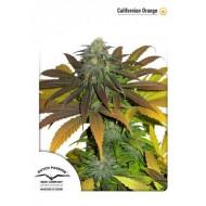California Orange Feminizadas - Dutch Passion Seeds