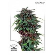 Durban Poison Feminizadas - Dutch Passion Seeds