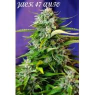 Jack 47 Auto Sweet Seeds 100 UND