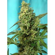 Green Poison F1 FAST VERSION 100 u. Feminizadas - Sweet Seeds