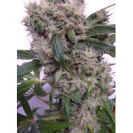 BUBBA HASH 100% ACE SEEDS