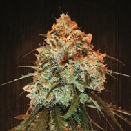 GOLDEN TIGER 100% ACE SEEDS