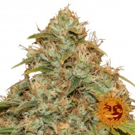 CBD LEMON POTION AUTO BARNEY´S FARM SEEDS