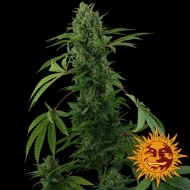 PINEAPPLE EXPRESS AUTO BARNEY BARNEY'S FARM SEEDS