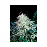 RADICAL AUTOFLORECIENTE ABSOLUTE CANNABIS SEEDS