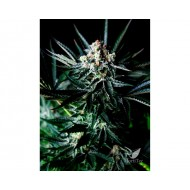 AMAZING AUTOFLORECIENTE FEMINIZADA ABSOLUTE CANNABIS SEEDS