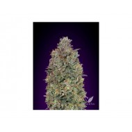CRITICAL PURPLE KUSH ADVANCED SEEDS